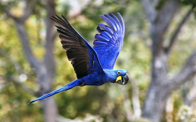 Macaw Hyacinth